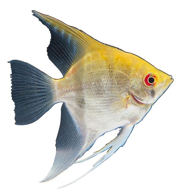 Совместимость с другими рыбками