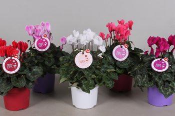 Цикламен – виды, цветение и уход