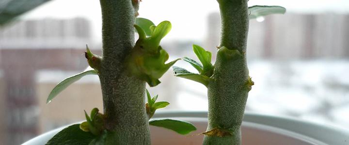 Цитокининовая паста для комнатных растений