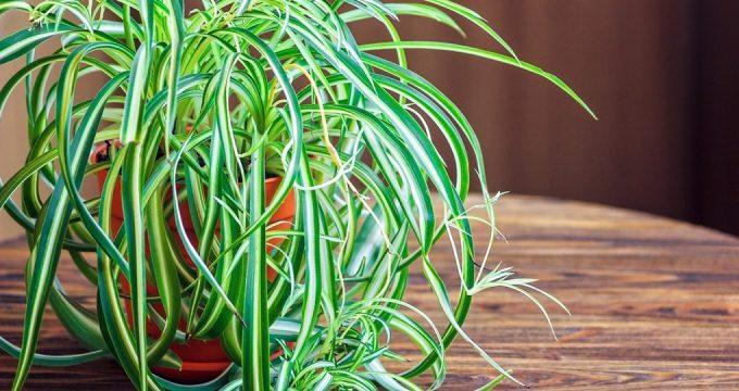 Хлорофитум в домашних условиях – уход и выращивание