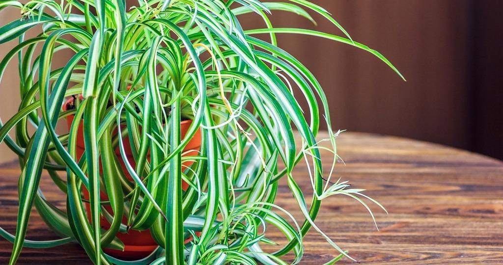 хлорофитум в домашних условиях