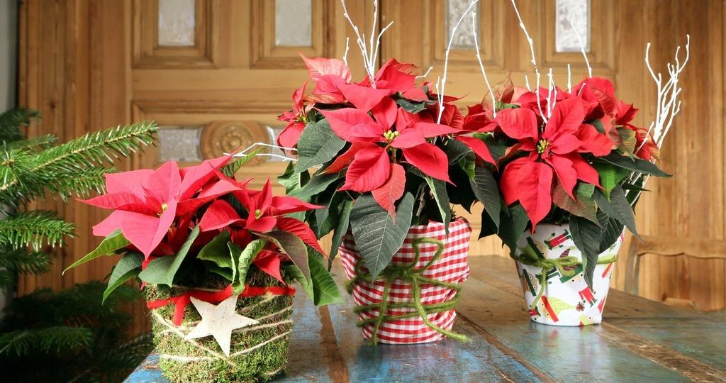 Рождественская звезда в домашних условиях