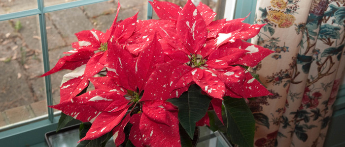 Рождественская звезда зацвела