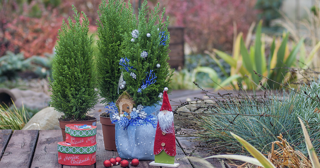 Кипарисовик новогодний – посадка и уход