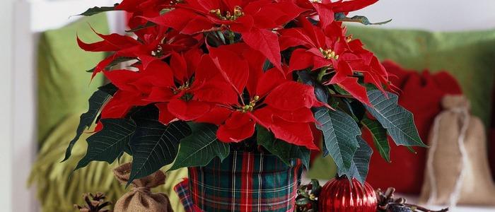 размножение рождественской звезды в домашних условиях.