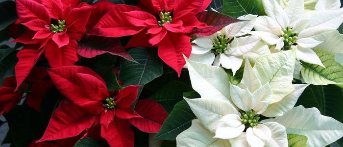 размножение рождественской звезды в домашних условиях